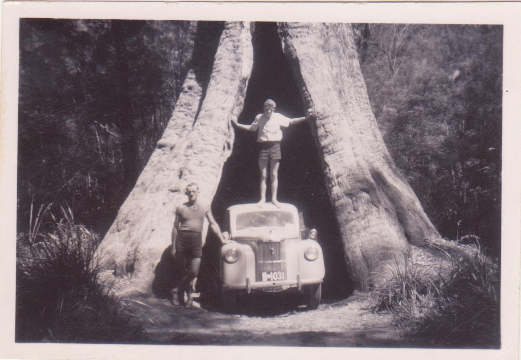 Denis Road Trip Tales Kauri Tree in Manjimup with a trunk hollow big enough for a small car to driv