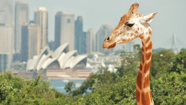 Giraffe at Taronga Zoo mob