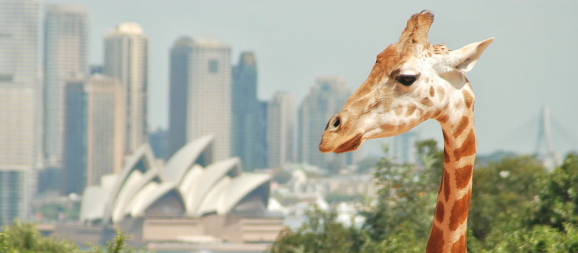 Giraffe at Taronga Zoo