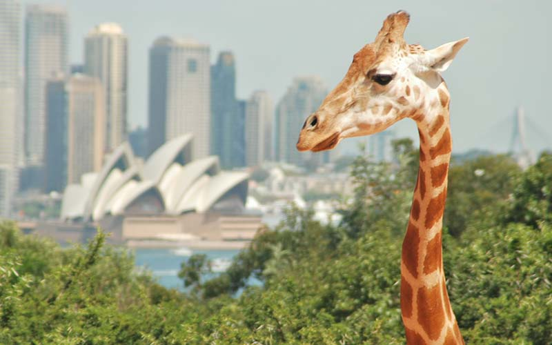 Giraffes at Taronga Zoo