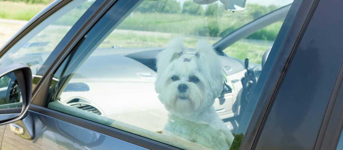 Little dog left in a car with the windows up