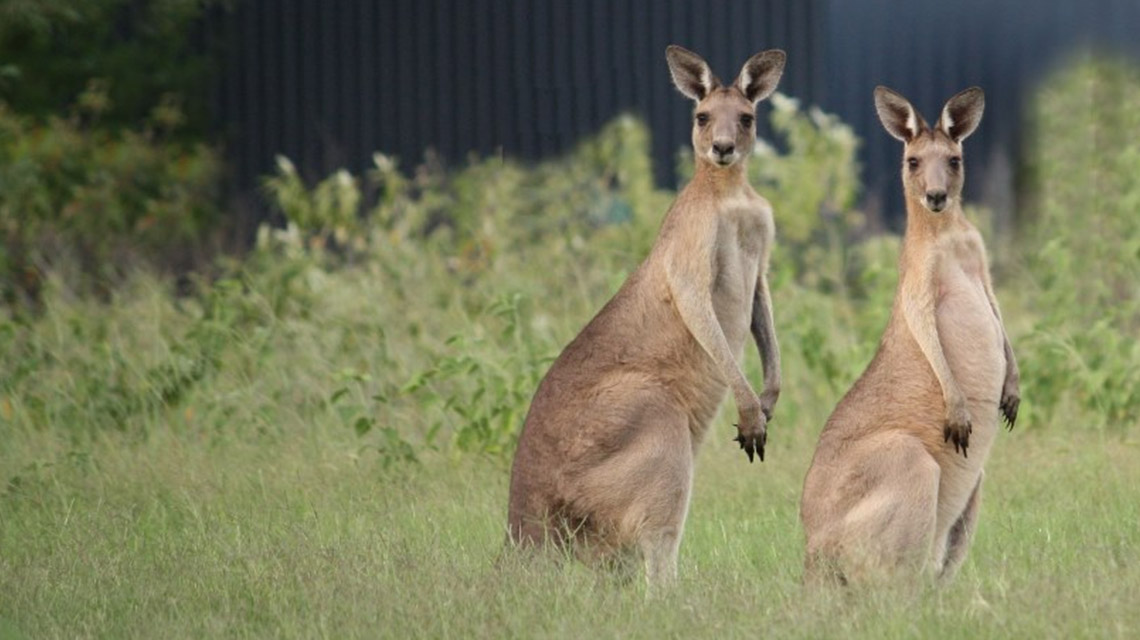 Kangaroo Woodgate Beach Holiday Park NRMA Parks and Resorts NSW