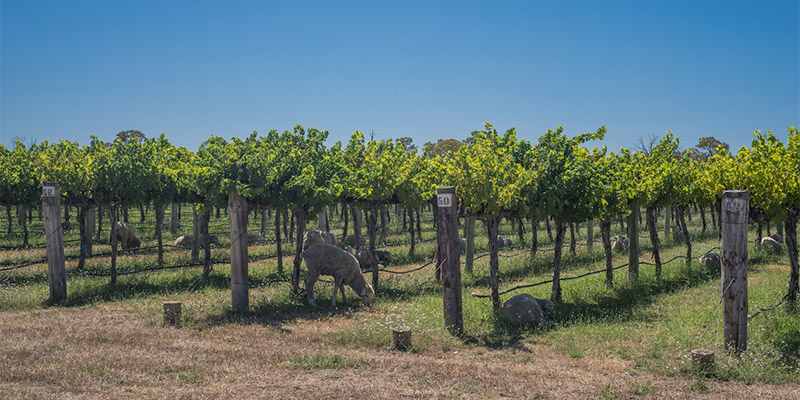 Vineyards South Australia Limestone Coast in Four Days my nrma road trips
