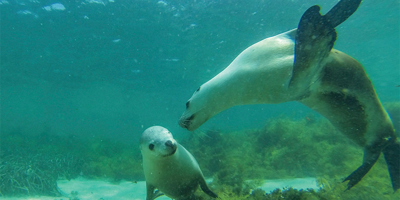 Swimming with Sea Lions Eyre Peninsula my nrma road trips